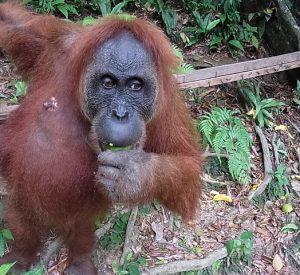 インドネシア オラウータン 観光