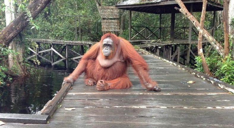 【カリマンタン島・パンカランブン】  ジャングルクルーズ と 野生オラウータンに出会う2泊3日